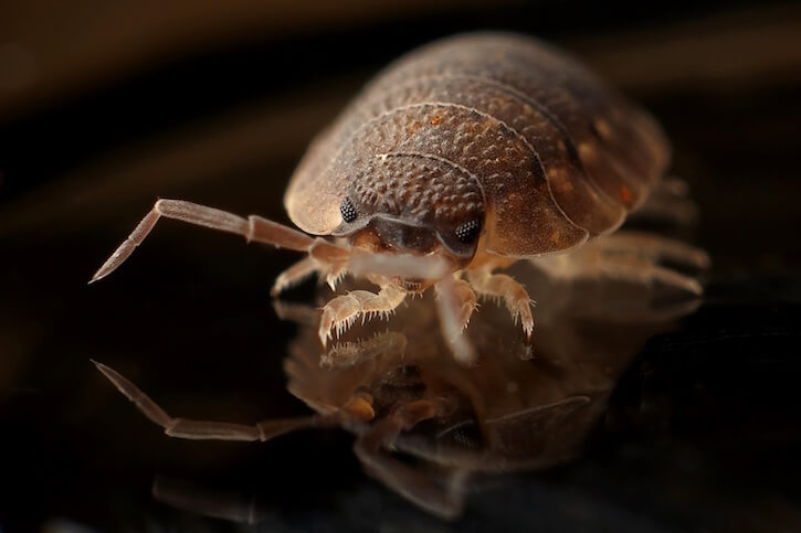 armadillo worm bug insect